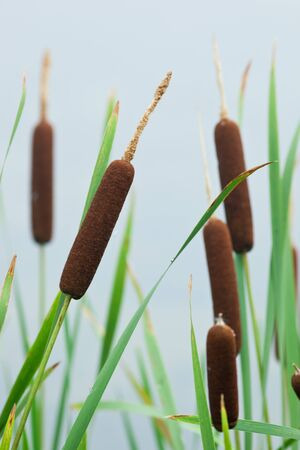 windless: Typha latifolia, Common Bulrush, Broadleaf Cattail, blackamoor, flag, mace reed, water-torch Stock Photo