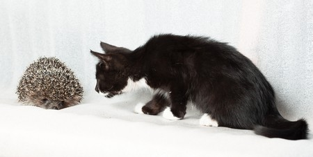unsuspecting: Kitten and hedgehog in front of white background, isolated.