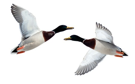The Mallard (Anas platyrhynchos) in front of white background, isolated. Bird in fly. Stock Photo