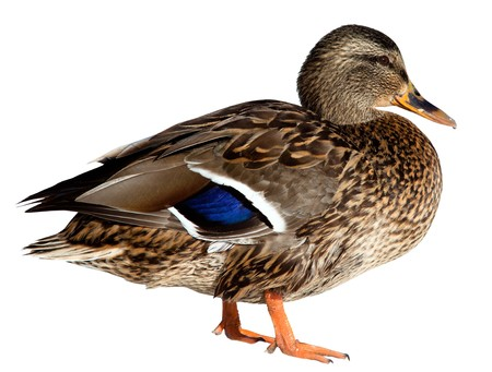 duck: The Mallard (Anas platyrhynchos) in front of white background, isolated. Stock Photo