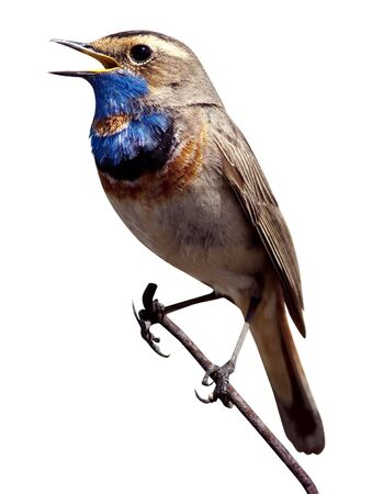 natural  habitat: Bluethroat (Luscinia svecica). The beautiful bird sings a spring song in the wild nature. Wild bird in a natural habitat.