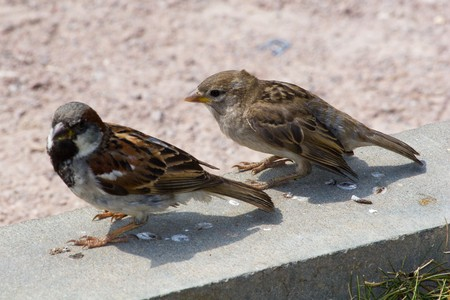A newly fledged of Sparrow chick in Russia photo