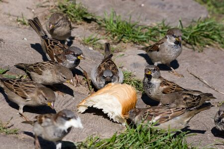 House Sparrows flocking and chirping together photo