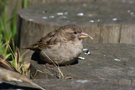 mutant: Mutant of a house sparrow in Moscow (Park Oaklets) Stock Photo