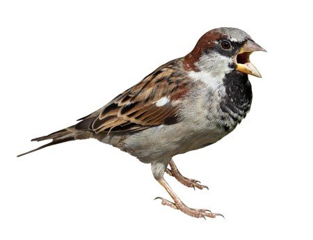 passer by: Male in front of white background, isolated. House Sparrow (Passer domesticus) Stock Photo
