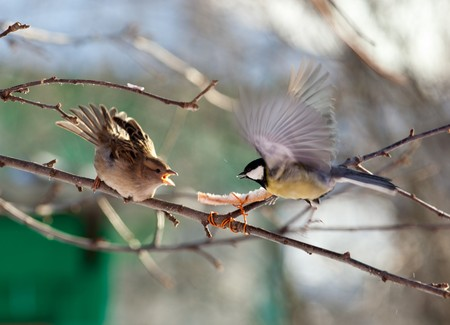 passer by: House Sparrow (Passer domesticus) and Great Tit (Parus major).