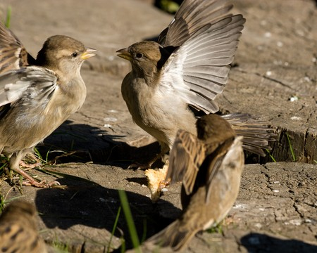 Quite often birds quarrel among themselves and arrange fights. photo