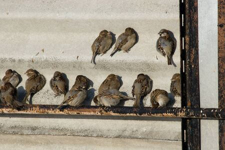 flocking: House Sparrows flocking and chirping together
