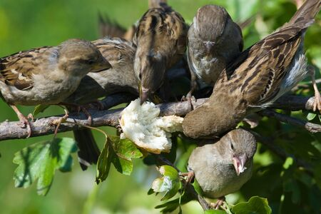 Sparrows willingly accept dieting, and also visit feeding troughs. photo