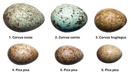 Eieren van vogels van de kraai familie (Kraaiachtigen). Het ei van een vogel geïsoleerd op een witte achtergrond.  Stockfoto