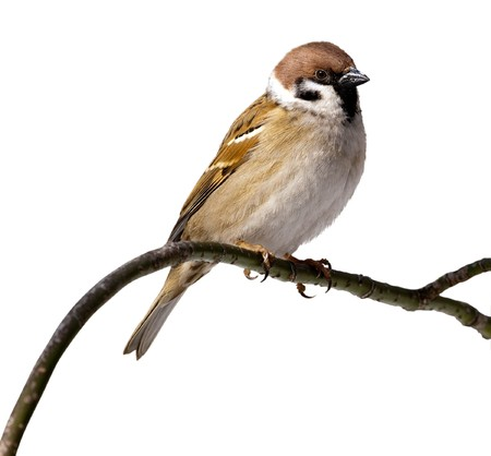 Tree Sparrow in front of white background, isolated. Sparrow perching on a branch of the tree.