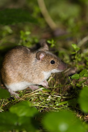 The wild field mouse (Apodemus agrarius) in city park.