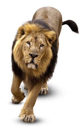 The Lion (Panthera leo)  in front of white background, isolated.
