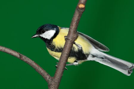 Great Tit, Parus major in front of green background. Russia, Moscow, Timirjazevsky park. photo