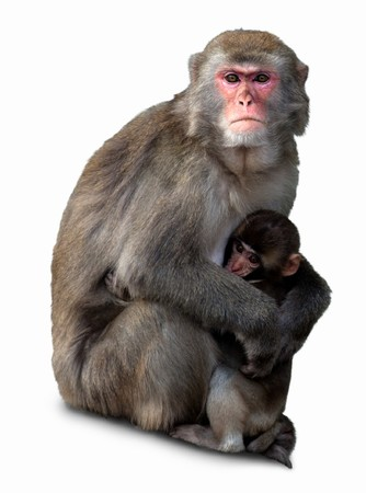 Japanese macaque with a cub, it is isolated on a white background.