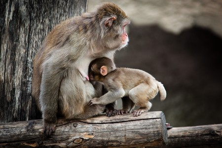 mammilla: The Japanese macaque - an anthropoid. The picture is received in a zoo. Stock Photo