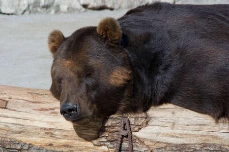 arctos: Old brown bear in a zoo. Ursus arctos Stock Photo