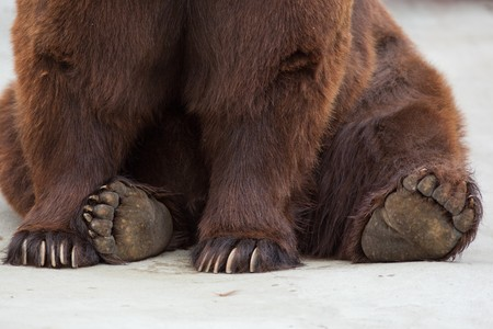 lumbering: Paws of a brown bear close up. Old brown bear in a zoo. Ursus arctos Stock Photo