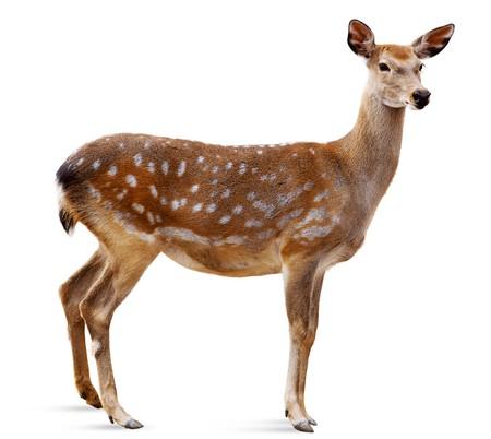 ciervo: Sika Deer delante de fondo blanco, aislado. El venado ha convertido una cabeza y busca en una c�mara.