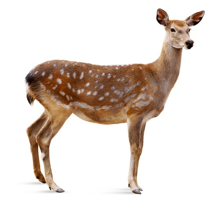 Sika Deer in front of white background, isolated.  The deer has turned a head and looks in a camera. Stock Photo