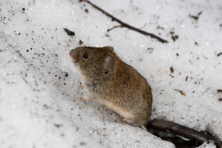 Clethrionomys glareolus, Bank Vole. Nice brown mouse on the earth.