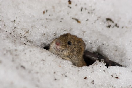 vole: Clethrionomys glareolus, Bank Vole. Nice brown mouse on the earth. A wildlife photo.