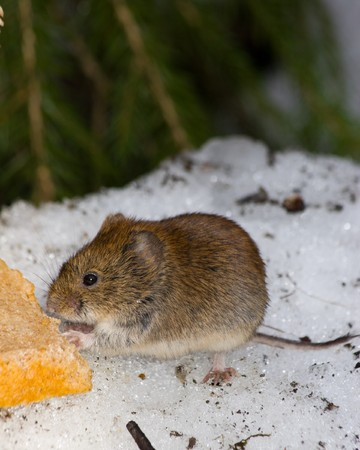 vole: Clethrionomys glareolus, Bank Vole. Nice brown mouse on the earth.  Stockfoto