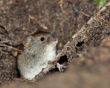 vole: Clethrionomys glareolus, Bank Vole. Mooi bruin muis op de aarde.