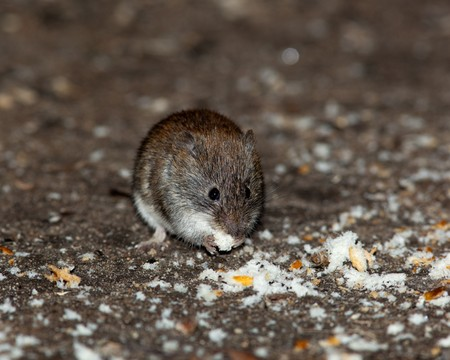 vole: Clethrionomys glareolus, Bank Vole. Nice brown mouse on the earth.