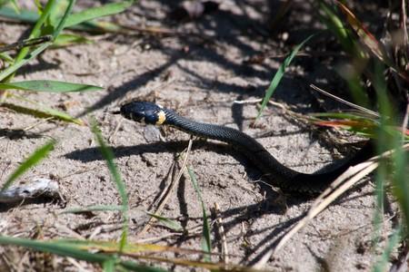 grass snake: La biscia (Natrix natrix) nella natura selvaggia.