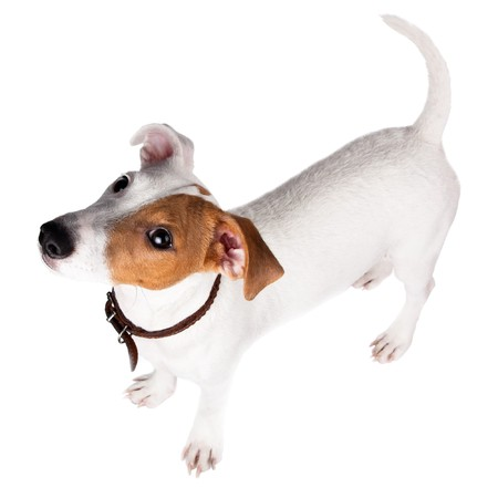 the descendant: Puppy of a dog in studio against a white background. A Jack Russell terrier is a dog with a high level of energy.