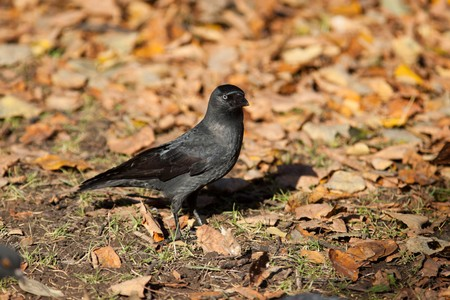 The Jackdaw (Corvus monedula), sometimes known as the Eurasian Jackdaw, European Jackdaw, Western Jackdaw, or formerly simply the daw, is a dark-plumaged passerine bird in the crow family. photo