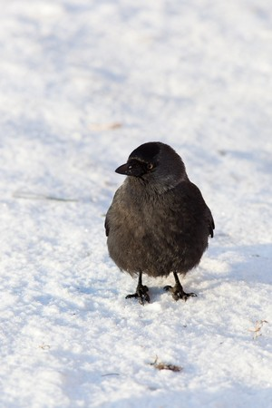 The Jackdaw (Corvus monedula), sometimes known as the Eurasian Jackdaw, European Jackdaw, Western Jackdaw, or formerly simply the daw, is a dark-plumaged passerine bird in the crow family. Stock Photo - 7776920