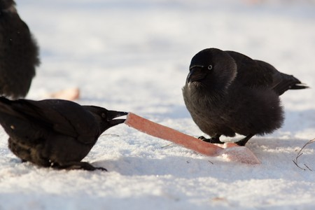 The Jackdaw (Corvus monedula), sometimes known as the Eurasian Jackdaw, European Jackdaw, Western Jackdaw, or formerly simply the daw, is a dark-plumaged passerine bird in the crow family. Stock Photo - 7776882