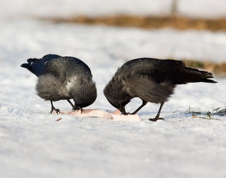 daw: The Jackdaw (Corvus monedula), sometimes known as the Eurasian Jackdaw, European Jackdaw, Western Jackdaw, or formerly simply the daw, is a dark-plumaged passerine bird in the crow family.