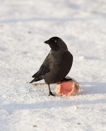 The Jackdaw (Corvus monedula), sometimes known as the Eurasian Jackdaw, European Jackdaw, Western Jackdaw, or formerly simply the daw, is a dark-plumaged passerine bird in the crow family. Stock Photo - 7776904
