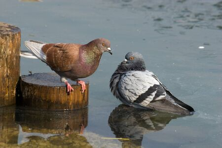 The rock dove, or just pigeon (Columba livia) in the city park. Stock Photo - 7776991