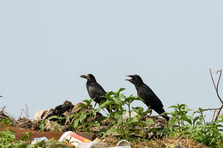 frugilegus: Adult  Rook (Corvus frugilegus) and young fledgling in a natural habitat.