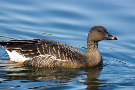 fabalis: The adult  Bean Goose (Anser fabalis) floats in water.