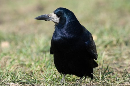 frugilegus: Adult Rook (Corvus frugilegus) in a natural habitat. Wildlife Photography.