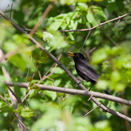The male of a blackbird sings a spring song. A voice of a bird. photo
