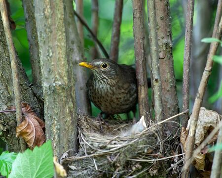 trustful: The Blackbird (urdus merula) at a nest with hungry baby birds.