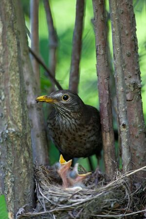 The Blackbird (urdus merula) at a nest with hungry baby birds. Stock Photo - 7777046