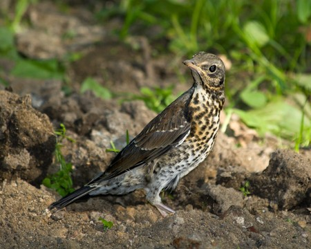 A young fledgeling of a Fieldfare. The Fieldfare (Latin name: Turdus pilaris) in the wild nature. photo