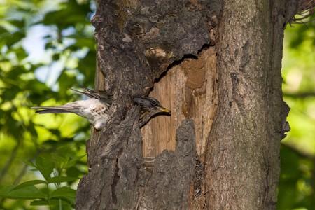 turdus: The Fieldfare (Latin name: Turdus pilaris) in the wild nature. Stock Photo