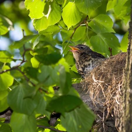 The Fieldfare (Latin name: Turdus pilaris) in the wild nature. Stock Photo - 7916917