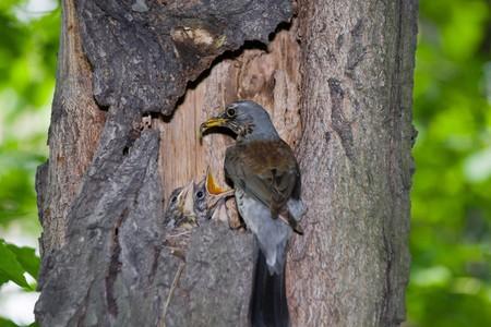 The Fieldfare (Latin name: Turdus pilaris) in the wild nature. Stock Photo - 7916911