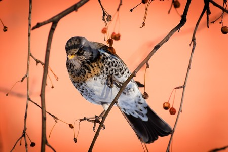 The Fieldfare (Latin name: Turdus pilaris) in the wild nature. photo