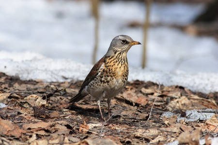 The Fieldfare (Latin name: Turdus pilaris) in the wild nature. Stock Photo - 7916919