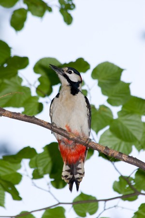 dendrocopos: The male of the Great spotted woodpecker (Dendrocopos major).